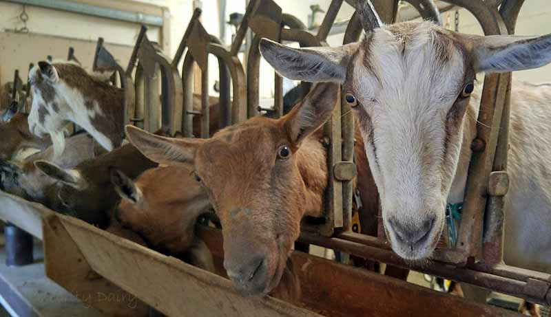 The goats love to investigate visitors to the milking parlor.