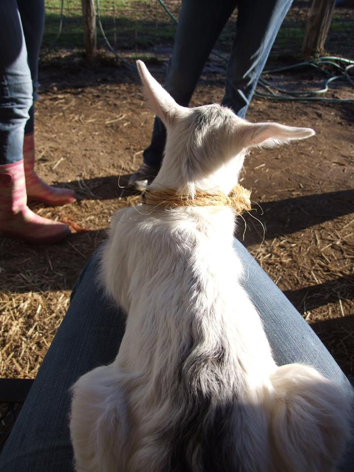 A lapful of baby goat